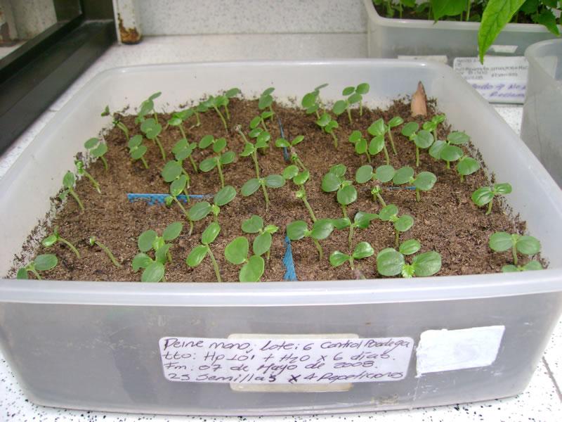 Germinación de semillas de Peine mono